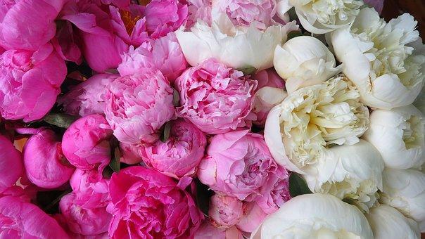 Flower, Nature, Flora, Floral, Petal, Peonies, White