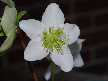 Christmas Rose, Anemone Blanda, Flower, Nature, Plant