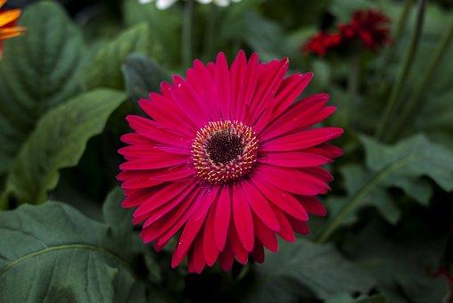 Gérbela Pink, Flower, Plant, Nature, Flowering