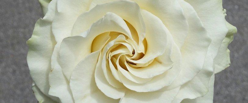 Flower, Rosa, White Rose