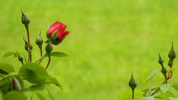 Rose, Red, Bush, Flowering, Ornamental Shrubs