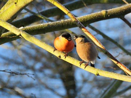 Bullfinch, Gimpel, Couple, Pair, Bird, Tree, Nature