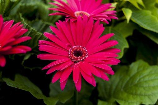Gérbela Pink, Nature, Flower, Plant, Summer