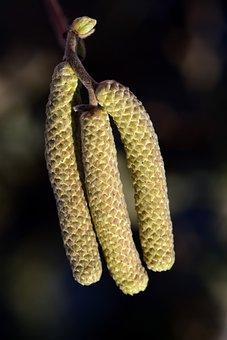 Nut, Walnut, Spring, Allergy, Pollen, Seeds, Blossom
