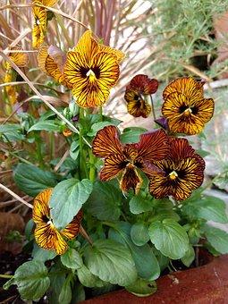 Flower, Flora, Nature, Garden, Pansies, Stripes