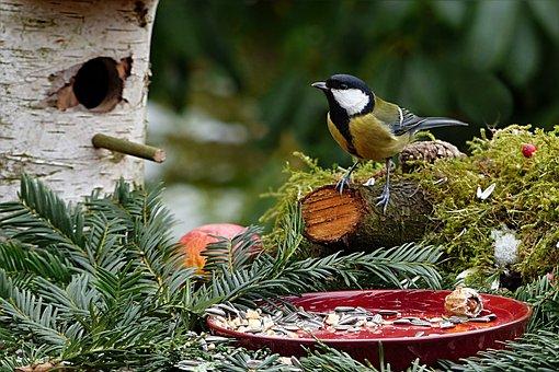 Animal, Bird, Tit, Parus Major, Songbird, Foraging