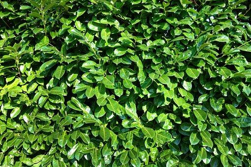 Leaves, Foliage, Shrubs, Hedge, Plant, Nature, Growth