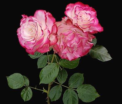Flower, Rosa, Petal, Floral, Plant, Black Background