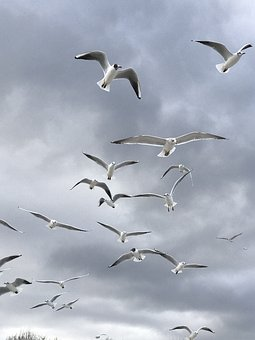 Bird, Seagull, Nature, Flight