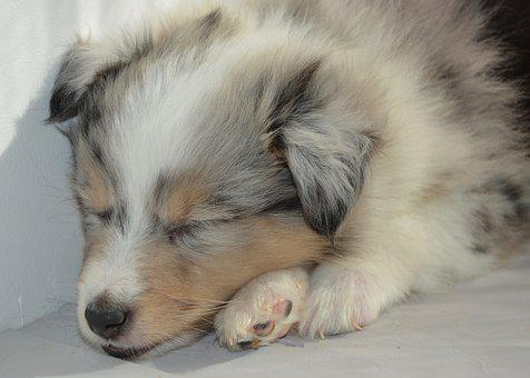 Puppy, Puppy Sleeps, Dog, Bitch, Shetland Sheepdog