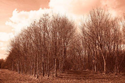 Forest, Grove, Tree, Trunk, Slender Tree, Bare Tree