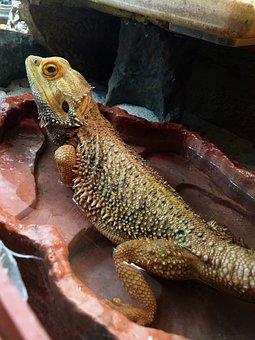 Bearded Dragon, Water Bath, Reptile, Lizard, Terrarium