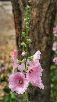 Alcea, Hollyhocks, Mallows, Flower, Pink, White, Flora