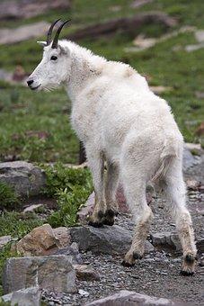 Mammal, Nature, Animal, Outdoors, Wildlife, Goat, Fur