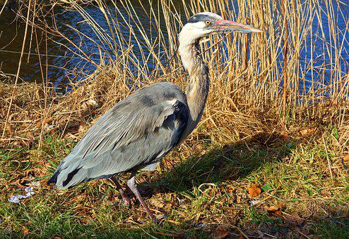 Gray Heron, Heron, Bird, Wading Bird, Predatory Bird