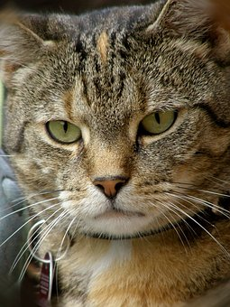 Cat, Animal, Portrait, Mammal, Cute, Pet, Hide Nose