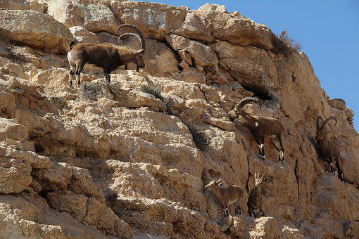 Rock, Mountain Goat, Desert