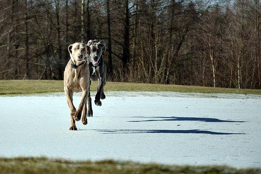 Dog Run, Great Dane