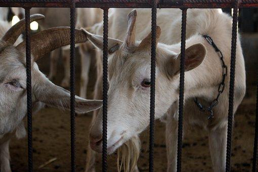 Farm, Barn, Livestock, Wired, Mammalia, Goat