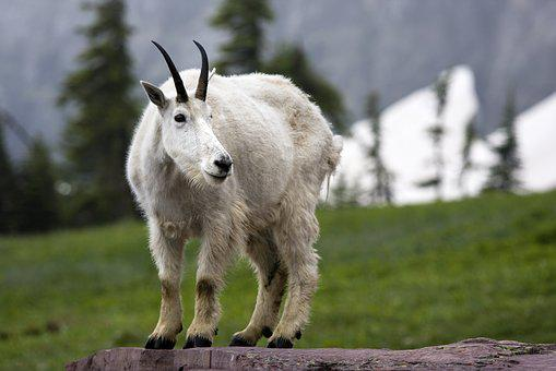 Nature, Mammal, Animal, Grass, Outdoors, Goat, Wild