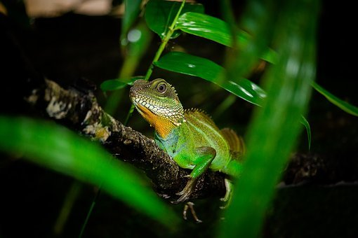 Chameleon, Animals, Nature, Reptile, Pets, By Nature