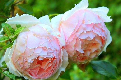 Flower, Rose, Leaf, Flora, Nature, Pink Roses, Plant