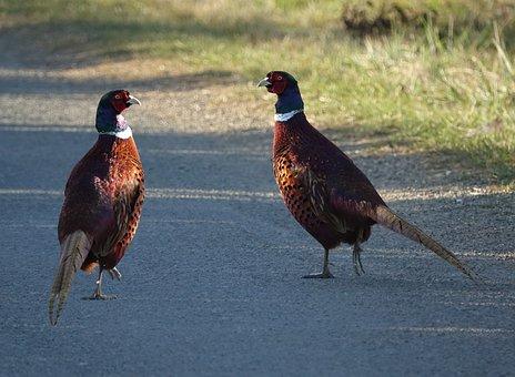 Bird, Roosters Pheasants Wild, Freedom