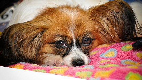 Papillon, Dog, Small, Pet, Dog Breed, Animal, Nature