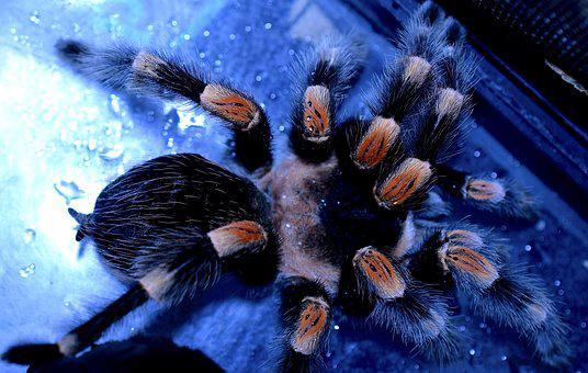Spider Legs, Tarantula, Redknee Bird-spider