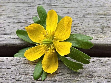 Flower, Winterling, Early Bloomer, Single Bloom