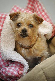Yorki, Dog, Yorkshire Terrier, Small Dog, Cute