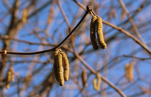 Hazel, Tree, Plant, At The Court Of, Nature, Hanging