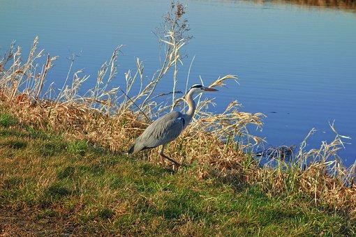 Gray Heron, Bird, Wading Bird, Long Legged