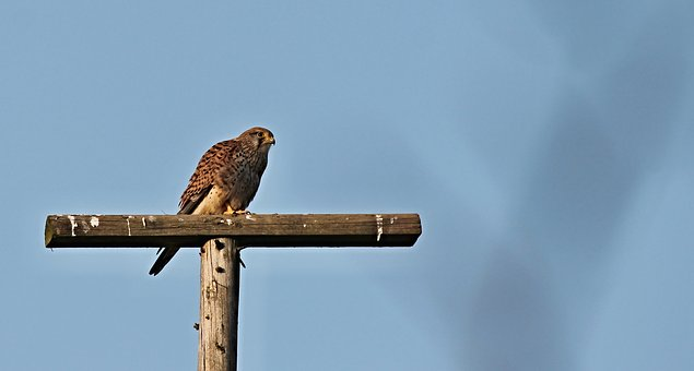 Kestrel, Bird Of Prey, Raptor, Bird, Falcon, Animal