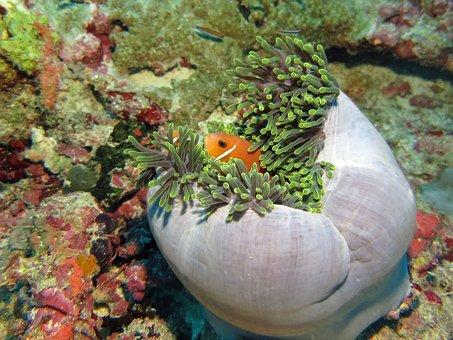 Nemo, Fish, Water, Underwater, Sea Anemone, Reef