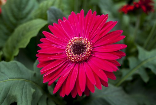 Gérbela, Flower, Plant, Nature, Flowering
