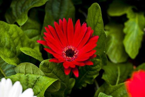 Gérbela Red, Flower, Plant, Nature, Garden