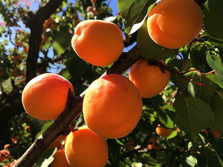 Fruit, Leaf, Tree, Garden, Food, Apricots