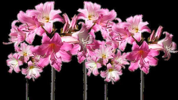 Belladonna Lilies Cut Out, Flowers, Garden