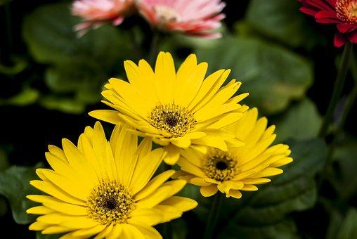 Beautiful Gérbela, Flower, Plant, Nature, Garden
