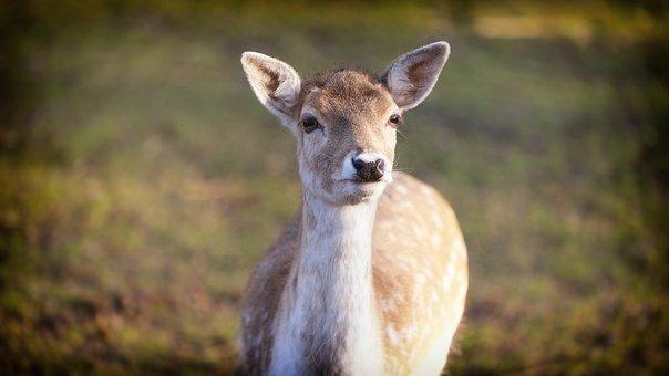 Deer, Wildlife, Nature, Mammal, Animal, Outdoors
