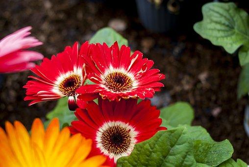 Gérbelas Red, Nature, Flower, Plant, Petal