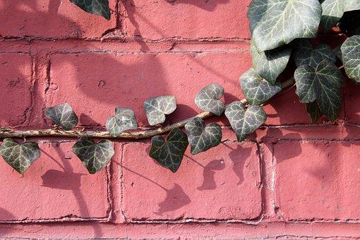Ivy, Creeper, Foliage, Plant, Nature, Decoration, Green