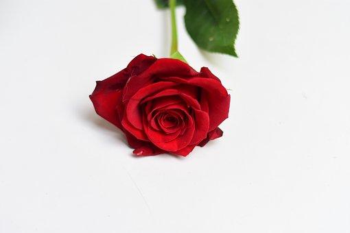 Rosa, Flower, Petal, Love