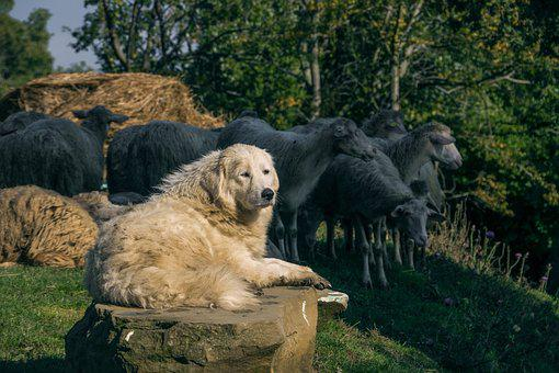Dog, Pastor, Flock, Sheep, Forest, Straw, Nature
