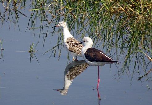 Bird, Ruff, Calidris Pugnax, Stilt, Black-winged