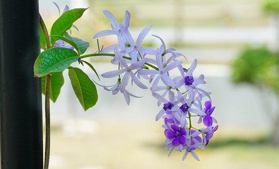 Climbing, Vine, Purple, White, Flower, Flora, Nature