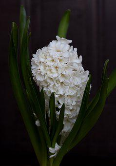 Hyacinth, White, Flower