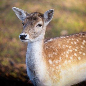 Mammal, Deer, Wildlife, Animal, Nature