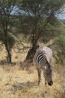 Nature, Safari, Savanna, Wildlife, Zebra, Tree, Wild